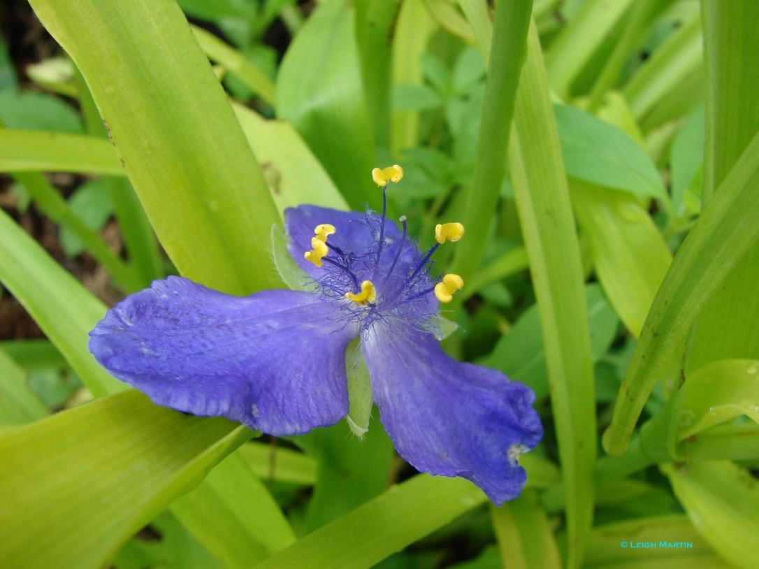 spiderwort 005signed